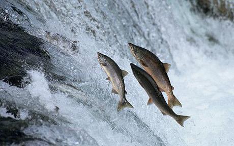 Salmon migration. Image credit - Irionline